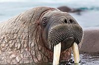 Male walrus in the waters surrounding  Svalbard