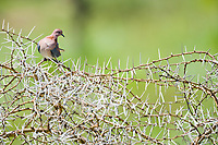 Dove, Serengeti National Park, Tanzania, East Africa