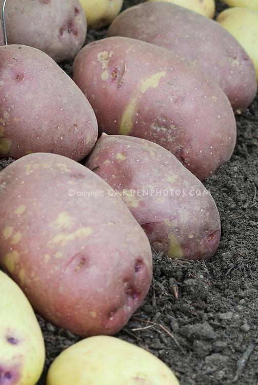 Potatoe 'Red King Edward'