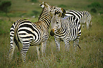 A pair of zebras nuzzle in the African grass.