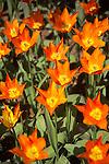 mixed tulip borders at Skagit Valley Tulip Festival in Mt. Vernon, WA