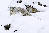 Snow Leopard turning in the snow on a rocky cliff - CA