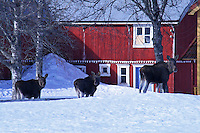A moose family having a hard time moving around because of all the snow. Selbu in Norway Elg, moose.