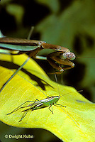 1M29-002x  Praying Mantis adult preparing to strike prey  Tenodera aridifolia sinenesis  © Dwight Kuhn