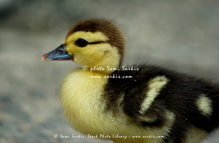 One cute duckling in Yangshuo County, Guangxi, China.
