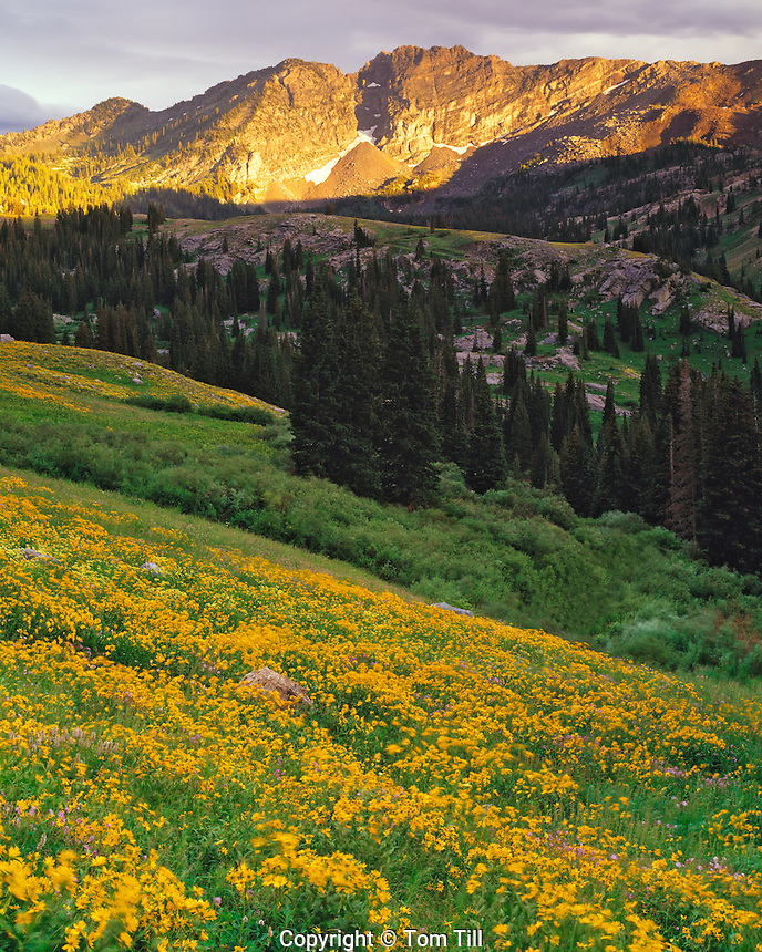 Alpine Sunflowers in Albion Basin, Little Cottonwood Canyon, Wasatch Mountains, Utah   Wasatch/Cache National Forest