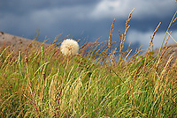 Salsify flower turned to seed in meadow in Multnomah County, Oregon