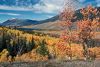 Trembling Aspen (Populus tremuloides) Trees and the Coast Mountains in the Nemiah (Nemaiah) Valley, in the Cariboo Chilcotin Region, British Columbia, Canada, in Autumn