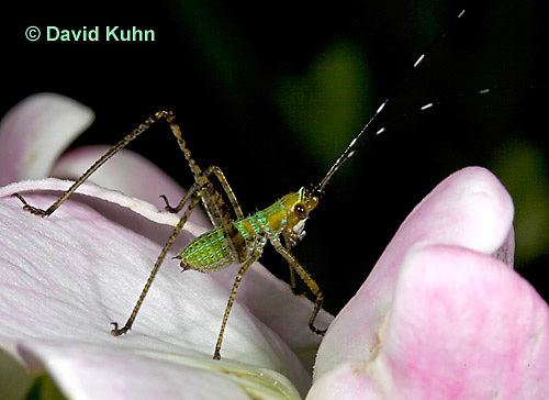"0720-07nn  Scudder's Bush Katydid - Scudderia spp. ""Nymph"" - © David Kuhn/Dwight Kuhn Photography"