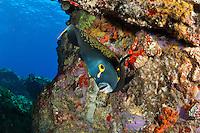 French Angelfish<br /> Las Cueves, La Queva, Desecheo Island, PR