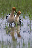 American Avocet couple involved in a courtship display