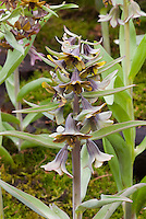 Brown flowers of spring bulb Fritillaria sewerzowii