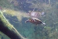 Painted Turtle, Underwater