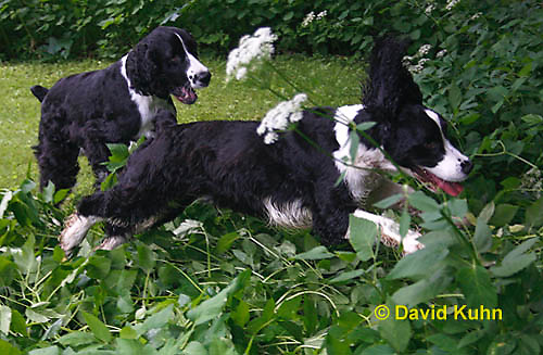 0808-0817  English Springer Spaniels Playing Chase, Canis lupus familiaris © David Kuhn/Dwight Kuhn Photography.