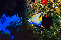 queen angelfish, Holacanthus ciliaris, in underwater cave, Cozumel, Quintana Roo, Mexico, Caribbean Sea, Atlantic Ocean