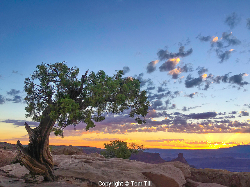 Juniper tree at sunrise, Dead Horse Point State Park, Utah   Colorado River canyon rims