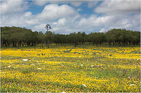 Driving back from the Guadalupe Mountains National Park, I came across this golden field near Harper, Texas, in the Texas Hill Country. I don't know if there were any bluebonnets before this bloom, but this field was bright yellow. I like the windmill in the background, too. This Texas Wildflower image was too good to pass up. I have a patient wife!