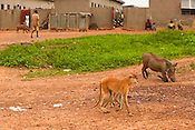 Patas monkeys and warthogs in village, Mole National Park, Ghana