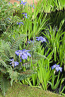 Iris ensata water plant in water garden pond with fern, lawn, deck