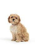 Cockapoo cute cross breed dog of cocker spaniel and a poodle isolated on white background