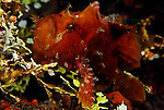 Hispid Frogfish, Antennarius hispidus, Lembeh Straits, Sulawesi Sea, Indonesia, Amazing Underwater Photography