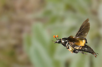 Carrion, Burying, or Sexton Beetle in flight (Nicrophorus carolinus). Note the mites on its underside.