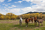 A donkey and four horses stand together in a grassy pasture with yellow trees in the background on a sunny day with puffy white clouds.