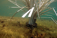 Largemouth Bass fry around a Fish Hiding Structure.<br />