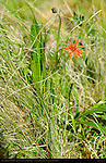 Orange Mountain Dandelion, Agoseris aurantica, Ski Meadow, Pajarito Mountain, Los Alamos, New Mexico