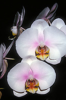 Orchids Phalaenopsis blushed white orchid hybrid