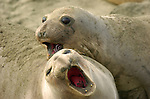 Elephant Seal Females Fighting, Close Portrait, Northern Elephant Seal, Piedras Blancas Rookery, San Simeon, California