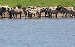 Foto: VidiPhoto<br /> <br /> RHENEN - De halfwilde konikspaarden in natuurgebied de Blauwe Kamer bij Rhenen zoeken dinsdag verkoeling in de Neder-Rijn. De temperaturen in het midden en oosten van ons land liepen dinsdag op tot boven de 25 graden Celsius; door de hoge luchtvochtigheid nog even zweten voor mens en dier. Vanaf woensdag zakken de temperaturen tot onder de 20 graden. Geleidelijk ontstaat er overgang naar wisselvallig en koel weer.