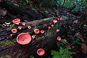 Cup Fungi {Cookenia sp.} growing on decaying log in lowland Dipterocarp forest. Danum Valley, Sabah, Borneo, Malaysia.