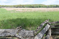 NWA Democrat-Gazette/FLIP PUTTHOFF <br /> Fescue, seen here at Pea Ridge National Military Park, is good for livestock but not for wildlife. So far 130 acres of fescue at the park have been removed to allow native grass types to grow.