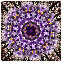 Mandala made from purple crocuses.