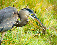 A great blue heron in a grassy field has a vole trapped by his tail in its beak with vole looking very surprised facing viewer and knowing look of what is going to happen next.  As seen in the Ridgefield National Wildlife Refuge.