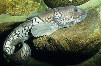 Gefleckter Wolfsfisch, Lycodes reticulatus, Arctic eelpout