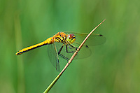 362690013 a wild female black meadowhawk sympetrum danae perches on a grass stem at river springs pond in mono county california