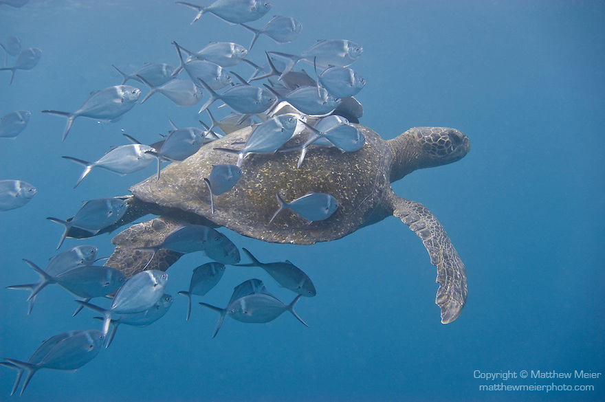 Santa Fe Island, Galapagos, Ecuador; Steel Pompano (Trachinotus stilbe) fish clean parasites off the shell of a passing Green Sea Turtle (Chelonia mydas) , Copyright © Matthew Meier, matthewmeierphoto.com All Rights Reserved