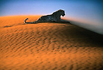 A solitary leopard perches atop a sand dune in the Namibian Desert seemingly unaffected by the blowing sand. Leopards, like other large cats, often use strong winds to help disguise their scent while stalking prey.