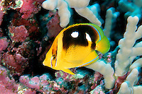 Butterflyfish - Unsorted