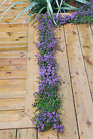 Thymes (Thymus) in bloom planted in deck crevices 37281