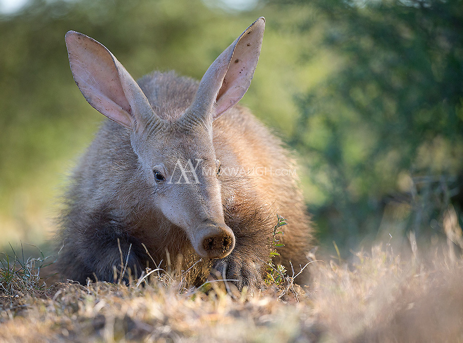 This aardvark was busy digging up ants to eat while I was photographing her.