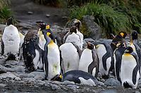 I'm peeling, can you help me? - King penguins Macquarie Island