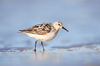A Sanderling (Calidris alba) wades in the surf at Nickerson Beach, Lido Beach, New York.