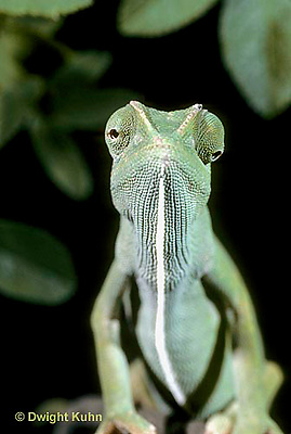 CH05-011z  African Chameleon - with eyes rotating separately - Chameleo senegalensis