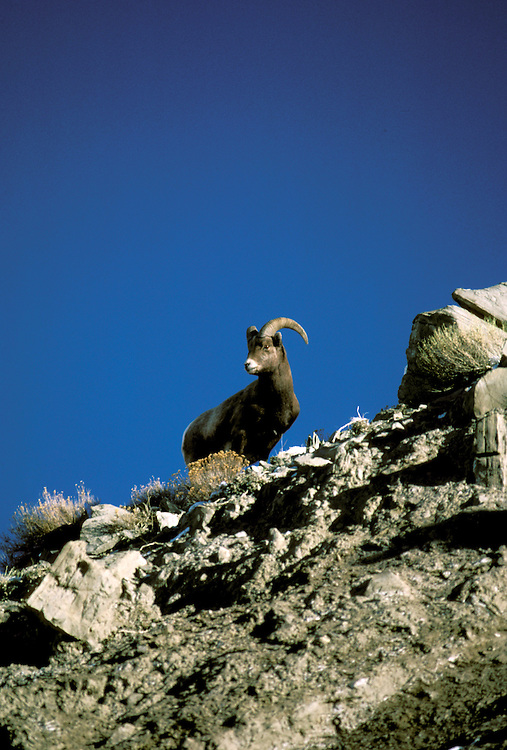 WY: Wyoming; Yellowstone National Park, Big Horn Sheep   .Photo Copyright Lee Foster, lee@fostertravel.com, www.fostertravel.com, (510) 549-2202.Image: wyyell219
