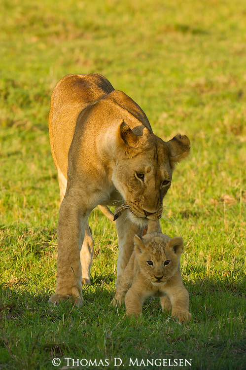 One of the pride's females--an 'auntie'--keeps a close watch on a precocious eight-week-old cub on the open plain in Masai Mara, Kenya.