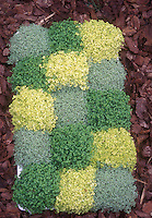 Assortment of thyme herbs planted to create a knot garden design effect. Thymus. yellow, green, blue-gray foliage colors
