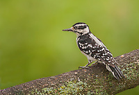Female Hairy woodpecker perched on limb